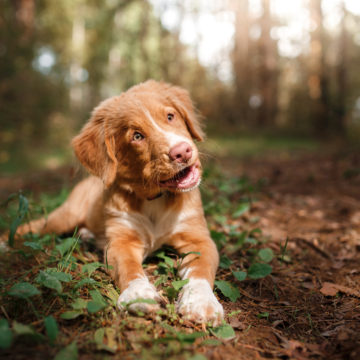 Dog Nova Scotia Duck Tolling Retriever walking in summer park Dog walking in the forest