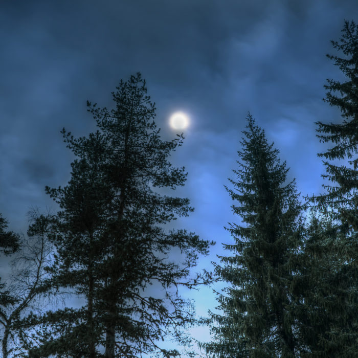 Pines at night in the woods. Moon on the sky